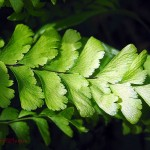 Maidenhair fern leaflet. May 2012 Iowa