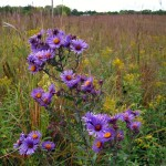 New England aster flowers. Sept 2011