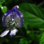 Northern Monkshood (macro). IA July 2011