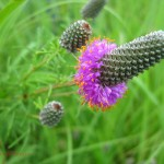 Purple prairie clover. IA Jul 2011