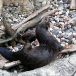 River otter2. Jul 2012