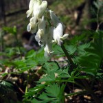 Squirrel corn (vert). IA, April 2012