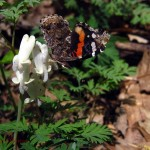 Squirrel corn with Red Admiral butterfly. IA Apr 2012