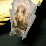 big brown bat pup hanging on glove. IL Jul 2011