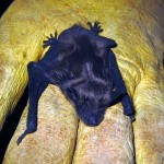 big brown bat pup. IL Jul 2011