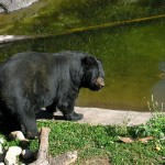 black bear. MN Sept 2012