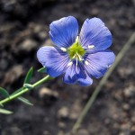 blue flax. WY Aug. 2012