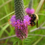 bumble bee on purple prairie clover. IA Jul 2012