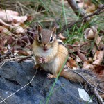 chipmunk with grasshopper