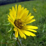 compass plant flower. Jul 2012