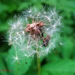 dandelion seedhead Jun. 2011
