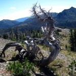 dead tree, Mtns., Yellowstone NP, WY. Aug 2012