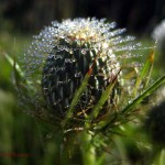 dew on native thistle (horz). Aug 2012
