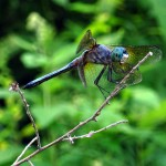dragonfly on branch. Jul 2012