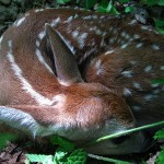 fawn curled up. IA May 2012