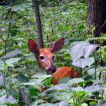 fawn standing in wood nettles. IA Jul 2012