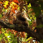 fox squirrel in oak