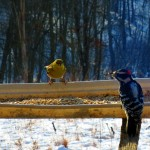 goldenfinch, downy woodpecker. IA Jan. 2013