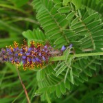 leadplant flowers, leaves. Jul 2012