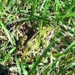 leopard frog. IA Sept 2012