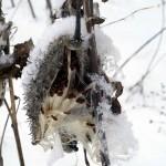 milkweed seedpods with snowflakes (vert)