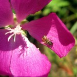 native pollinator on mallow. WI Aug. 2012