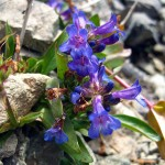 penstemon sp. WY, Aug 2012