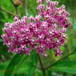 pink milkweed. July 2012, Iowa