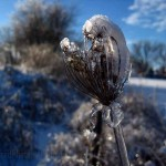 snow, ice on Queen Anne's lace