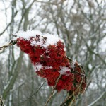 sumac seedhead with vines, snow. Dec. 2012
