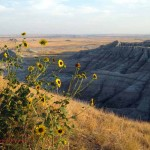 sunflowers, Badlands vista, SD. Sept. 2012