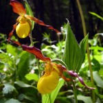 sunlit Yellow lady's slippers (dark background). May 2012
