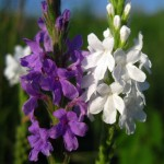 white, purple vervain flowers. WI Aug 2012